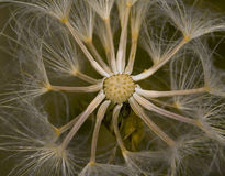 Dandelion seeds closeup. Macro view of the seeds of a dandelion royalty free stock photography