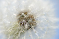 Dandelion seeds closeup. On blue sky background Stock Photo