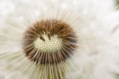 Dandelion seeds closeup. On blue sky background Stock Images