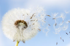 Dandelion seeds closeup. On blue sky background. some seeds flying the wind Royalty Free Stock Photography