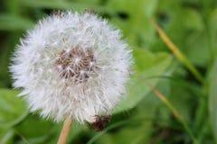 Dandelion - Seeds Stock Photo
