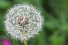Dandelion - Seeds Stock Photos