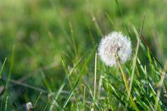 Dandelion seeds closeup with fresh green grass background. Under sunshine Royalty Free Stock Photos