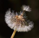 Dandelion seeds. Dandelion closeup. Half the seeds are gone stock images