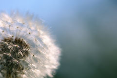 Dandelion seeds closeup Royalty Free Stock Photo