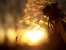 Dandelion. Seeds of a dandelion and colors of the sunset Stock Images