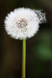 Dandelion with seeds coming off. On a dark background royalty free stock photo