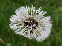 Dandelion bloom covered in water droplets. Dandelion seeds covered in dew droplets stock images