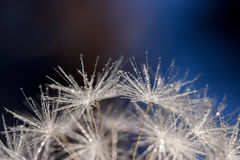 Dandelion seeds covered in water droplets reaching for the sky. Rounded top of a dadelion seedhead against a blurred black, brown and blue background Stock Photos