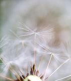 Dandelion seeds dancing over neutral background Stock Photo