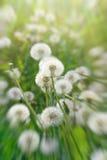 Dandelion seeds - dandelion in meadow Royalty Free Stock Photos