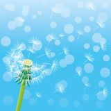 Dandelion and seeds. Dandelion and seeds in the air on a blue background Royalty Free Stock Image