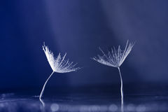 Dandelion seeds on dark background Stock Photography