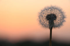 Dandelion seeds at dawn royalty free stock photo