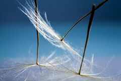 Dandelion seeds with details Stock Images