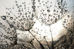 Dandelion seeds. With dew drops Stock Images