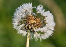 Dandelion seeds with dew drops. Stock Photography