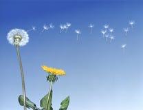 Dandelion Seeds Dispersing stock photography