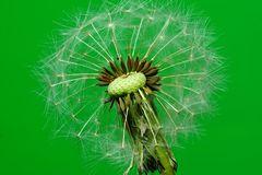 Dandelion with seeds. Dandelion with distinctive seeds in detail, on a green background Royalty Free Stock Image