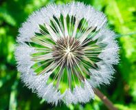 Dandelion seeds with drops of dew. Dandelion flower with sparkling drops of dew. Dandelion seeds, grass in the background royalty free stock photos
