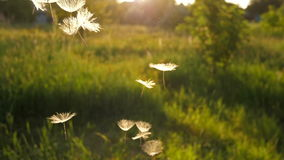 Dandelion Seeds falling from the sky. Scenic flight of Dandelion seeds at sunset stock video