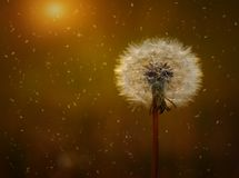 Dandelion seeds on the field Royalty Free Stock Photography