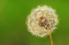 Dandelion seeds on the field Royalty Free Stock Image