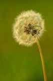 Dandelion seeds on the field Stock Photography