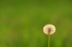 Dandelion seeds on the field Royalty Free Stock Photo