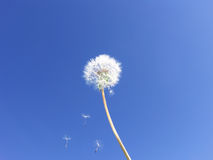 Dandelion seeds floating on blue sky -- Wishes stock photography