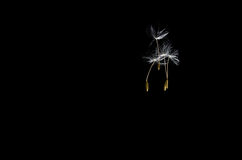 Dandelion Seeds Floating Free Royalty Free Stock Photo