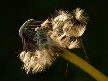 Dandelion, Seeds, Flower, Meadow Stock Photography