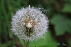 Dandelion with seeds. Dandelion flower seed close-up. Some seeds are missing Royalty Free Stock Images