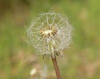 Dandelion seeds stock photos