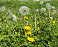 Dandelion seeds and flowers in garden or lawn, seeds ready for d Stock Image