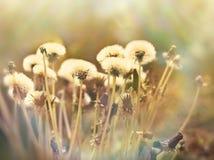 Dandelion seeds - fluffy blowball Stock Images
