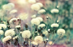 Dandelion seeds (fluffy blowball) in spring Royalty Free Stock Photos