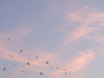 Dandelion seeds fly out against pink sunset sky background. Stock Images