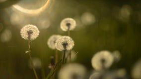 Dandelion seeds fly