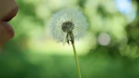 Dandelion seeds fly in the wind. Nature, green background. Dandelion seeds fly in the wind stock footage