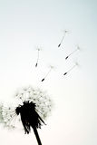 Dandelion seeds flying Royalty Free Stock Photography