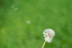 Dandelion seeds flying away Stock Images