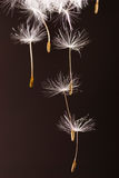 Dandelion seeds  flying away Royalty Free Stock Photo