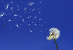 Dandelion. Seeds flying in the blue sky Royalty Free Stock Images