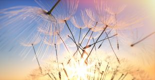 Dandelion seeds flying in the evening sun stock photography