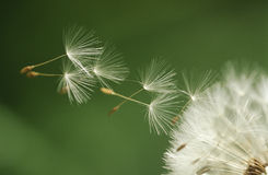 Dandelion seeds flying extreme close up Royalty Free Stock Image