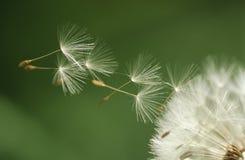 Dandelion seeds flying extreme close up Royalty Free Stock Image