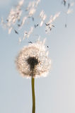 Dandelion seeds. Flying dandelion seeds next to blue skies stock images