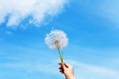 Dandelion seeds  flying up Stock Images
