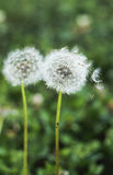 Dandelion. Seeds on a  fresh green background Stock Photos